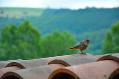 Curious juvenile Redstart. A tiny bird on a Roof in Vic-sur-Cere, France Royalty Free Stock Photography