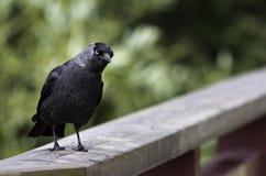 Curious Kaja (corvus monedula) Royalty Free Stock Photo