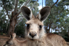 Curious kangaroo. Young curious kangaroo in Australia Stock Photos