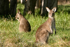 Curious kangaroo. A pair of young kangaroos grazing in the grass Stock Image