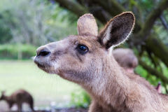 Curious kangaroo. Brown kangaroo looking at something with curious expression stock photos