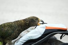 Curious Kea Royalty Free Stock Image