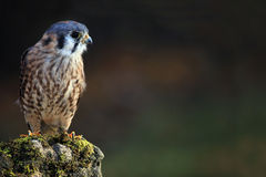 Curious Kestrel Stock Photography