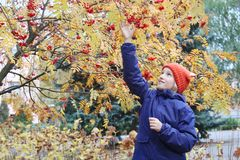 Curious kid girl collects rowan berries from the branch. Child is dressed in a funny knitted warm hat with ears, looks like a fox. Autumn, stroll in the park Stock Image