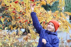 Curious kid girl collects rowan berries from the branch. Child is dressed in a funny knitted warm hat with ears, looks like a fox. Autumn, stroll in the park Stock Photos
