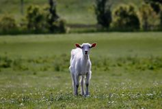 Curious kid goat at the meadow, Young goatling in the grass field stock photography