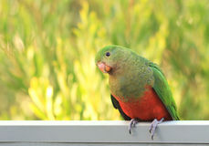 Curious King Parrot Royalty Free Stock Photo