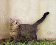 Curious kitten. Kitten looking up into empty wall space royalty free stock images