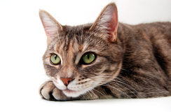 Curious Kitten. Small kitten looking thoughtful with chin on paw on a white background Royalty Free Stock Photos