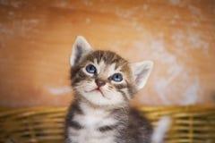 Curious kitten. A curious kitten looking around Stock Photo