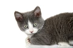 Curious kitten Royalty Free Stock Photography