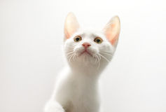 Curious Kitten. A white kitten curiously looks up with its paw about to rise. The light from a white background shines through the kitten's translucent ears Stock Image