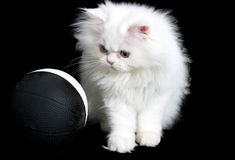 Curious Kitten. Persain kitten playing with a ball Stock Image
