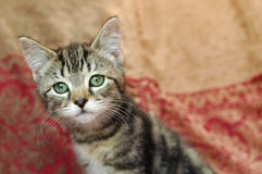 Curious Kitten Stock Photography