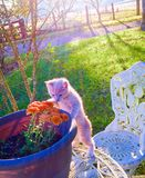 Curious Kitten. Farm Kitten Country Living Stock Photo