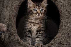 A curious kitten with a funny face. A curious kitten looking at something with a funny face royalty free stock photos