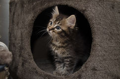 A curious kitten Royalty Free Stock Photo