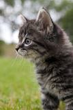 Curious kitten Royalty Free Stock Photo