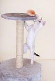 Curious Kitten Playing Stock Photo