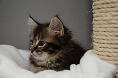 A curious kitten with a tired but cute face. A curious kitten looking at something with big Lovely ears and a cute face stock photo