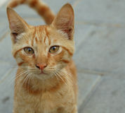 Curious kitty. Little red kitten,curious about my camera Stock Photography