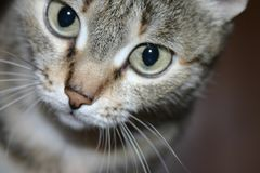 Curious Kitty Cat. The picture depicts a bengal cat looking at something thoughtfully Royalty Free Stock Photo