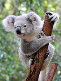 Curious koala. On a branch royalty free stock photo