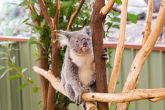 Curious koala Stock Photography