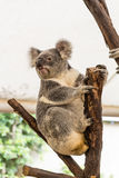 Curious koala Royalty Free Stock Photography
