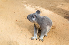 Curious koala Stock Images