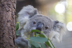 Curious koala on the tree Stock Photo