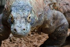 Curious Komodo. A komodo dragon lumbers closer for an upgront confrontation with the camera Stock Images
