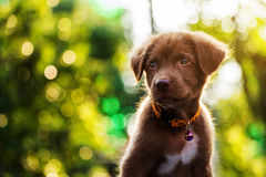 Curious labrador dog with bokeh Royalty Free Stock Photography