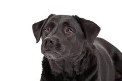 Curious Labrador Retriever Dog Head Shot Royalty Free Stock Photo
