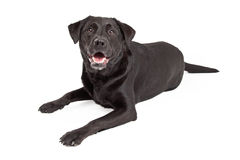 Curious Labrador Retriever Dog Laying Royalty Free Stock Images