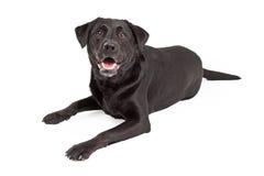 Curious Labrador Retriever Dog Laying Royalty Free Stock Images
