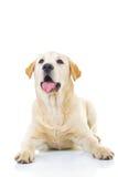 Curious labrador retriever dog is looking up Stock Photo