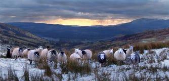 Curious Lakeland sheep. Colourful and curious sheep on an English Lakeland moor royalty free stock photos
