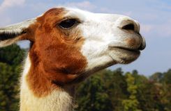 Curious Lama Stock Image