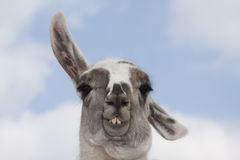 Curious Lama Royalty Free Stock Images
