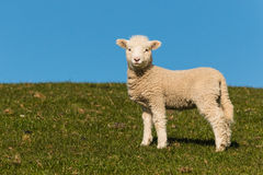Curious lamb against blue sky Royalty Free Stock Images