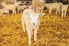 Curious lamb in a farmhouse Royalty Free Stock Photos