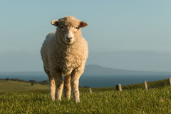 Curious lamb  on green meadow Stock Images