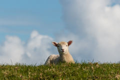 Curious lamb on green meadow Stock Photo