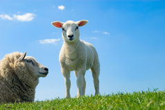 Curious lamb in spring Stock Photography