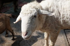 Curious lamb in spring Stock Image