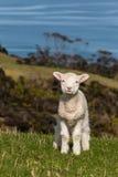 Curious lamb Stock Photography