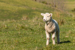 Curious lamb standing on grass Royalty Free Stock Image