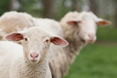 Curious lamb Royalty Free Stock Images