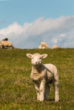 Curious lamb Royalty Free Stock Photography